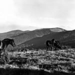 cavalli al pascolo nella prateria nei pressi della croce (1974)